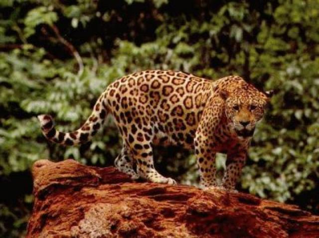 jaguar totems. Black Bedroom Furniture Sets. Home Design Ideas