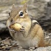 Photo de Chipmunk