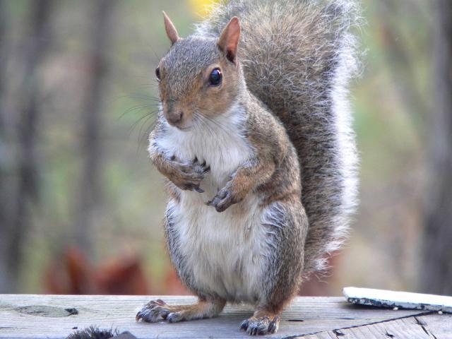 Résultats de recherche d'images pour «photo ecureuil»