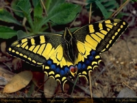 Photo de Machaon