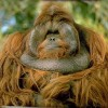 Photo de Orang-outan