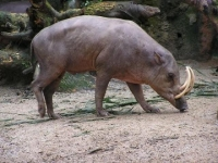 Photo de Babiroussa