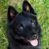 Photo de Schipperke