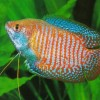 Photo de Gourami
