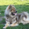 Photo de Eurasier