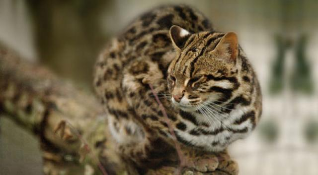 Bengal totems - Chat type leopard ...