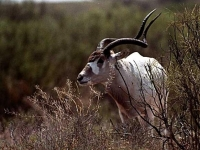 Photo de Addax