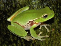 Photo de Litoria