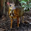 Photo de Chevrotain