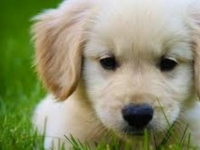 Photo de Golden Retriver