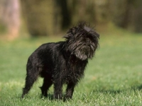 Photo de Affenpinscher