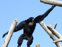 Photo de Siamang