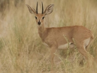 Photo de Steenbok