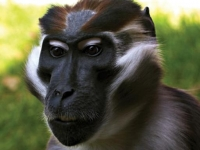 Photo de Mangabey