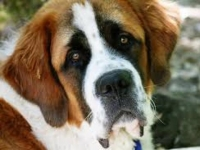 Photo de Saint-bernard