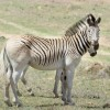 Photo de Quagga