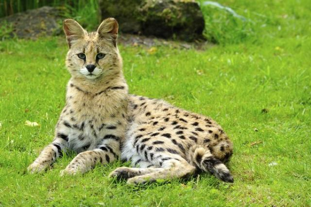 Serval Totems Scouts Be