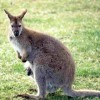 Photo de Wallaby