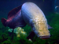 Photo de Arapaima