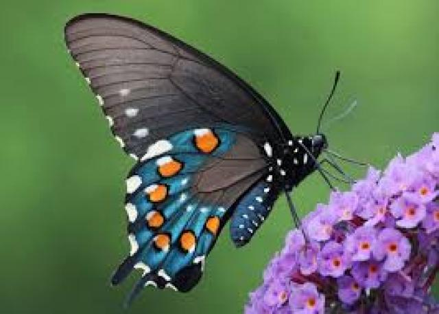 Papillon totems - Images de papillon ...