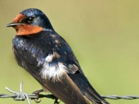 Photo de Hirundo