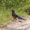 Photo de Coucal