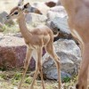 Photo de Gerenuk