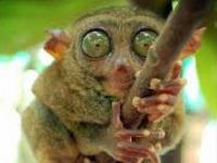 Photo de Tarsier
