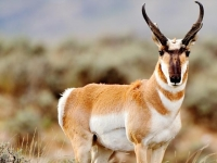 Photo de Pronghorn
