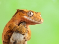 Photo de Gecko