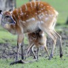 Photo de Sitatunga