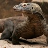 Photo de Komodo